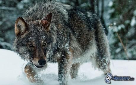 Obrazky.4ever.sk] vlk, sneh 159297